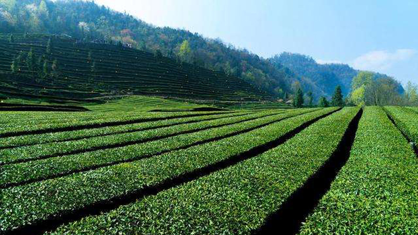 Across China: Green farming brings fresh lease of life for tea planters
