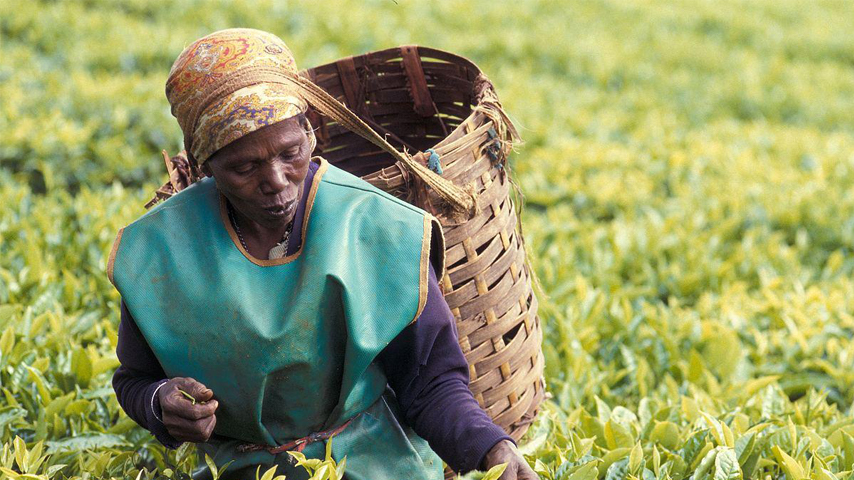 Kenya's tea prices fall for 3 consecutive years amid global glut