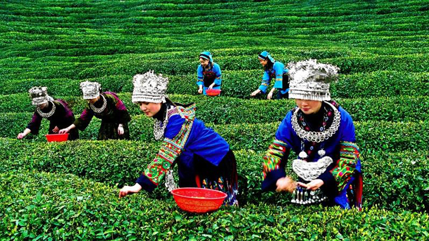China's southwest province sees robust growth in tea production, export