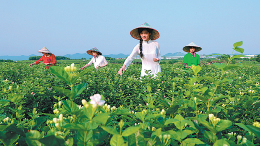 Chinese jasmine tea hubs set to take center stage at home and abroad